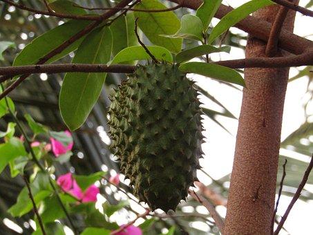 Le corossol, un fruit tropical aux multiples propriétés